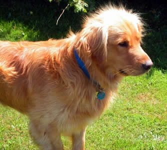 Golder Retriever
