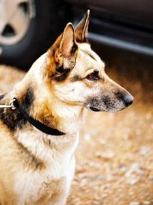 German Shepherd Dog Dog Breed Information Online